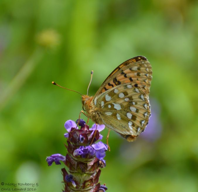 Dark Green fritillary