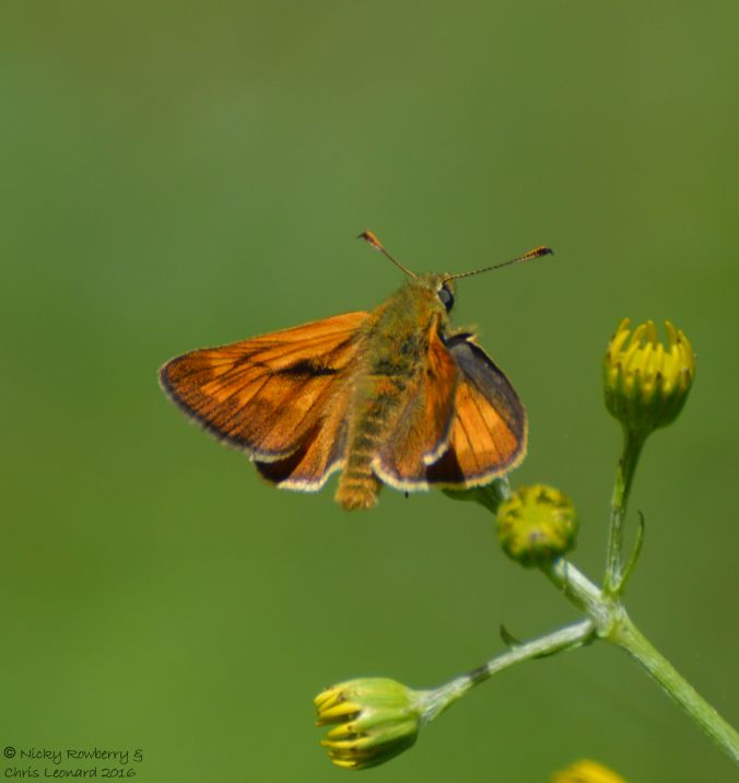 Large Skipper 2