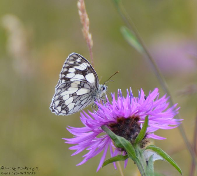 Marbled White 3
