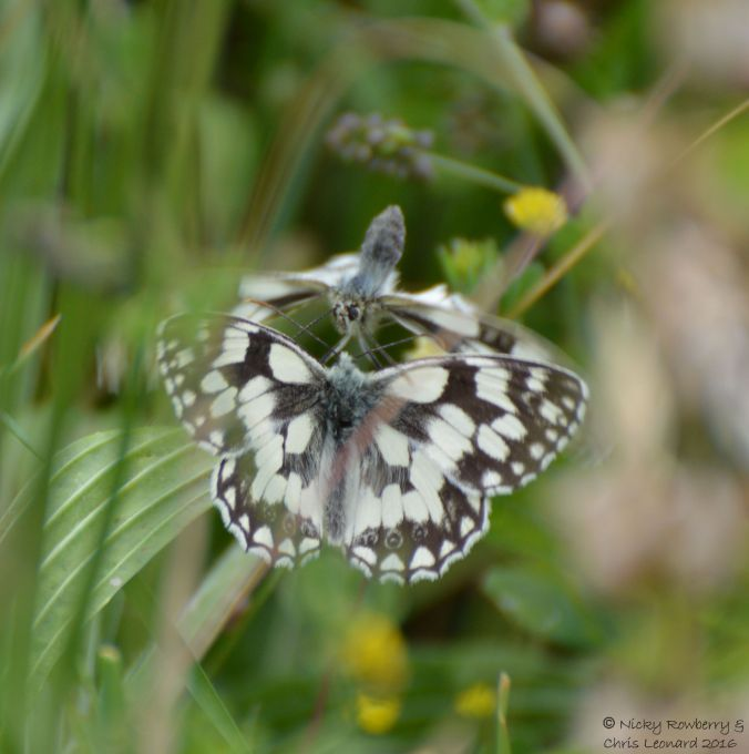 Marbled Whites