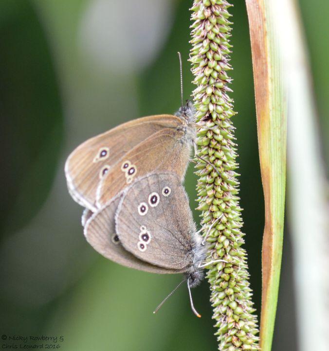 Mating Ringlets