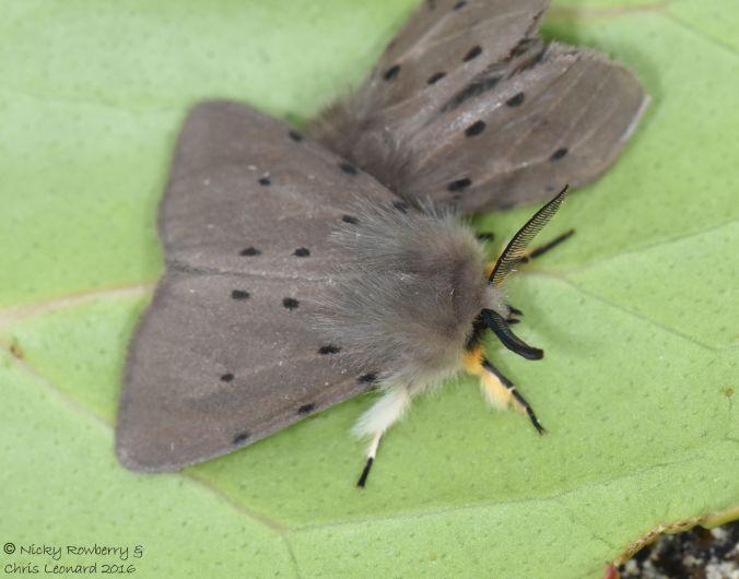 Muslin Moths