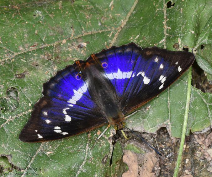 Purple Emperor 12