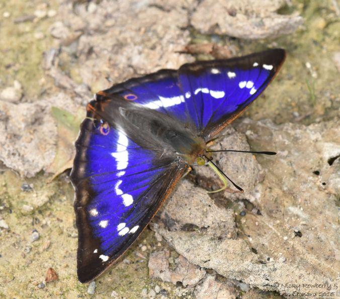 Purple Emperor 7
