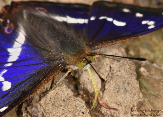 Purple Emperor 8