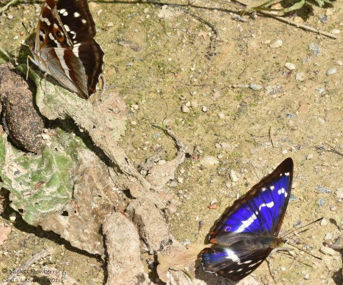 Purple Emperor Pair 2
