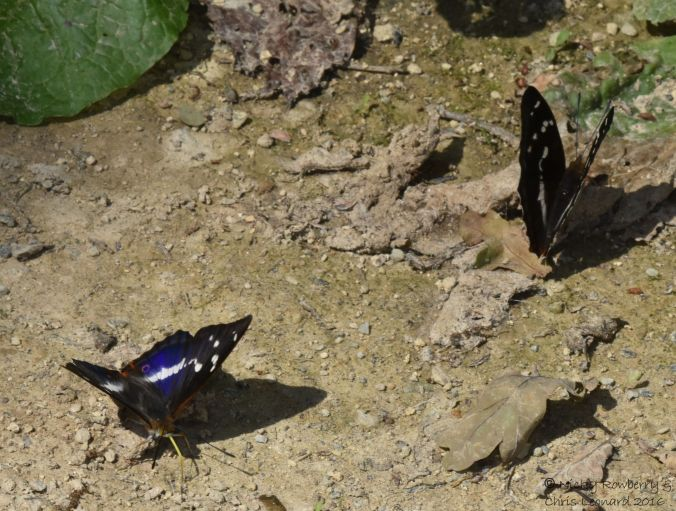 Purple Emperor Pair