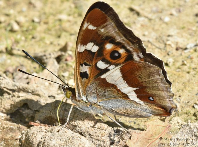 Purple Emperor Upright