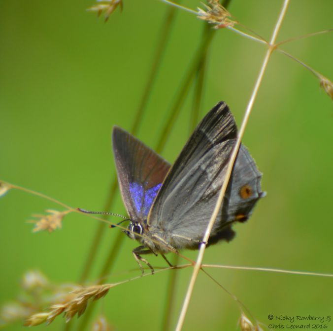 Purple Hairstreak 2