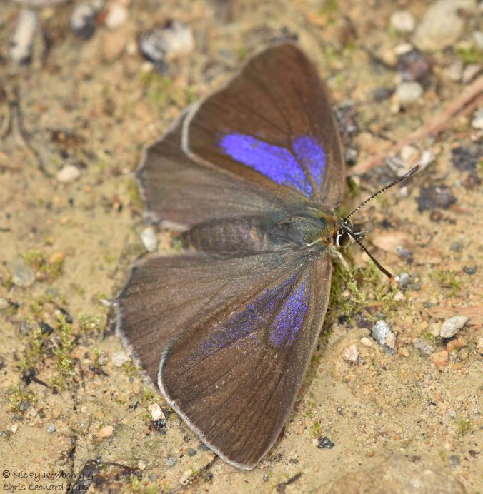 Purple Hairstreak 3