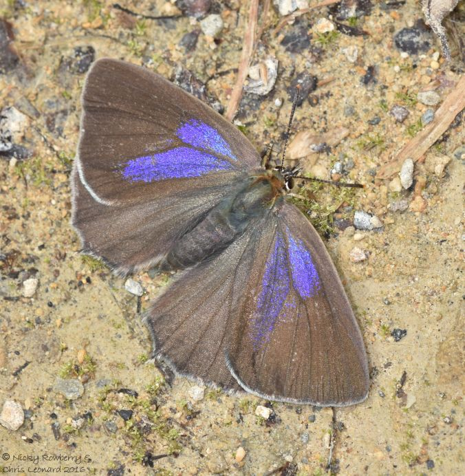 Purple Hairstreak 4