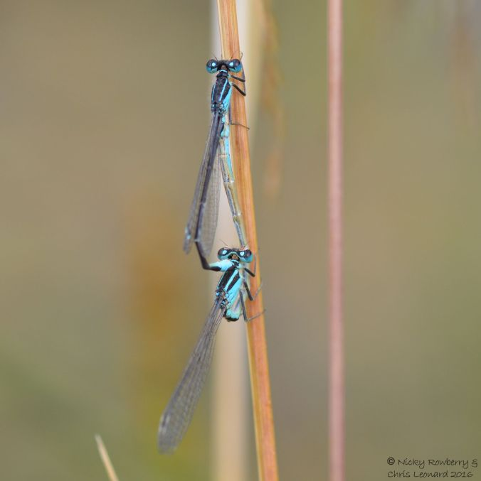 Blue Tailed Damselflies 2