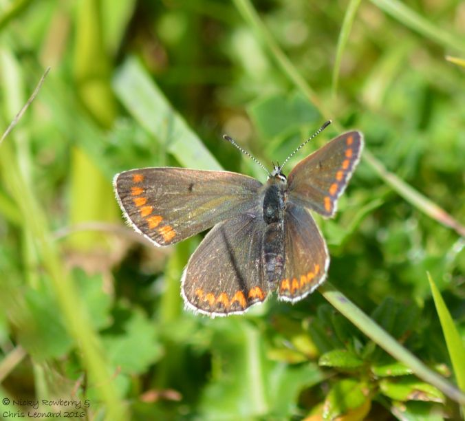 Brown Argus male