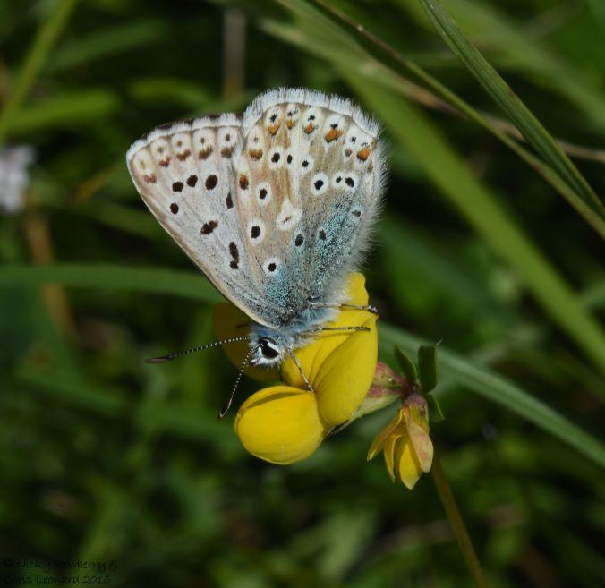Chalkhill Blue 2