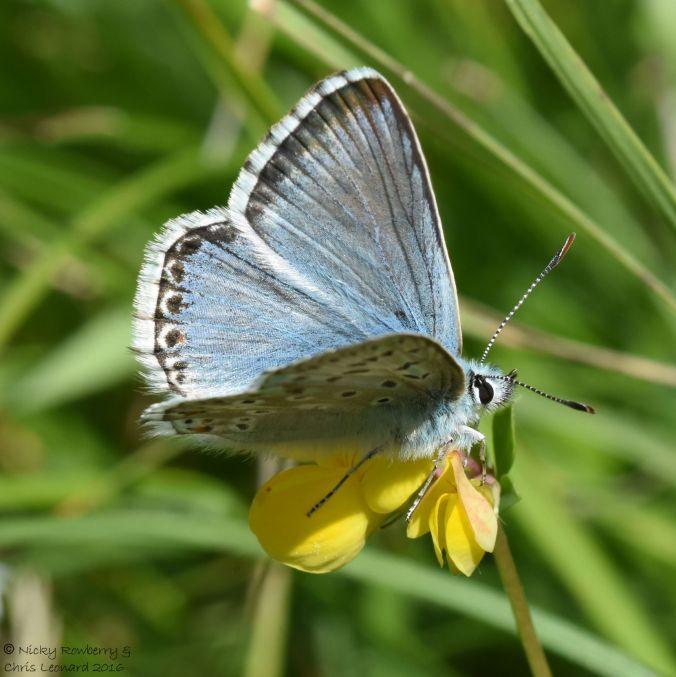 Chalkhill Blue 3