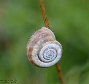 Heath Snail