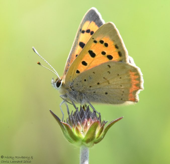 Small Copper (2)