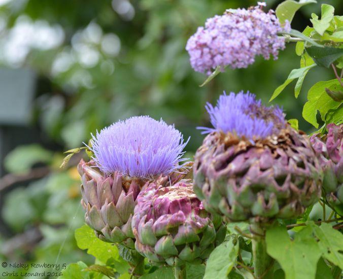 Artichoke flowers