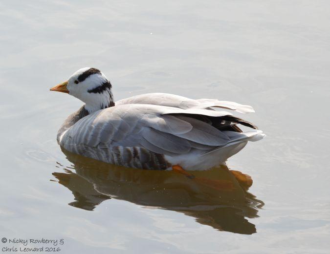 barr-headed-goose