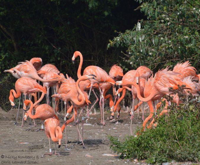 caribbean-flamingos