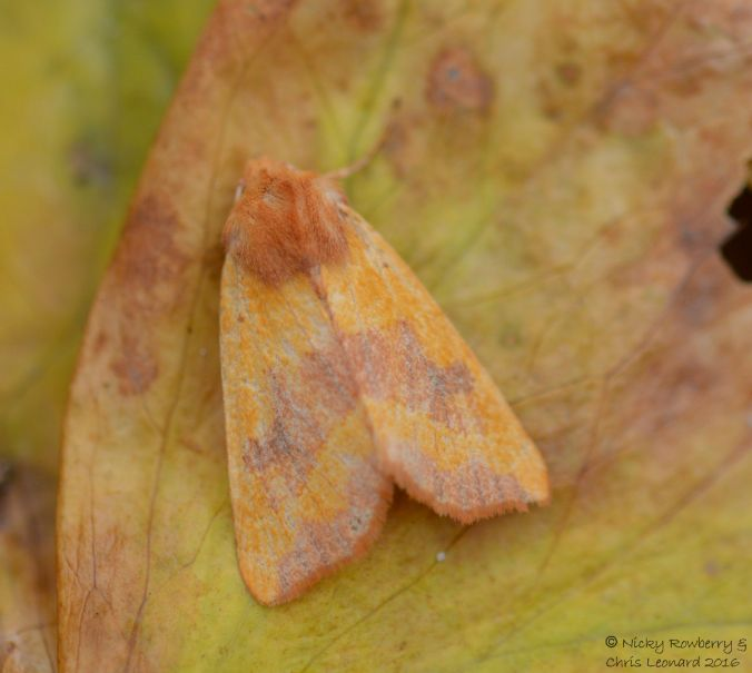 centre-barred-sallow