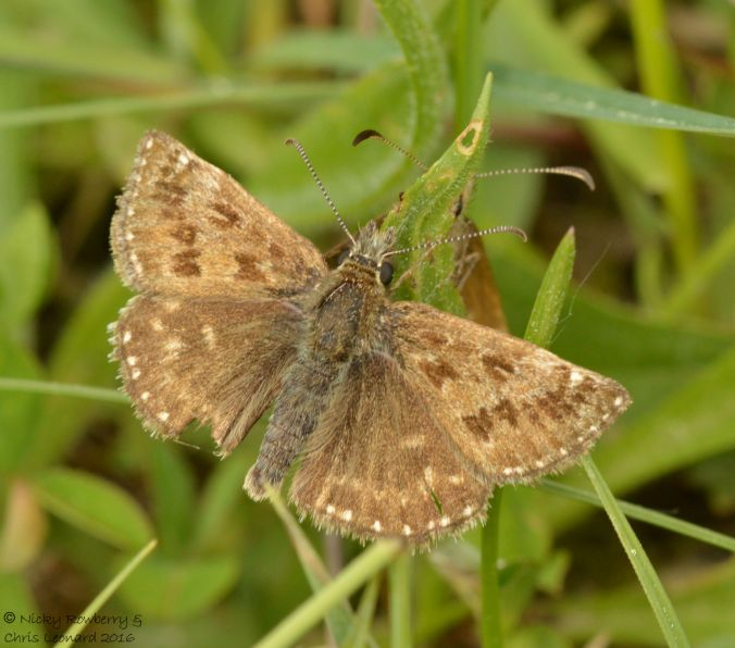 dingy-skipper