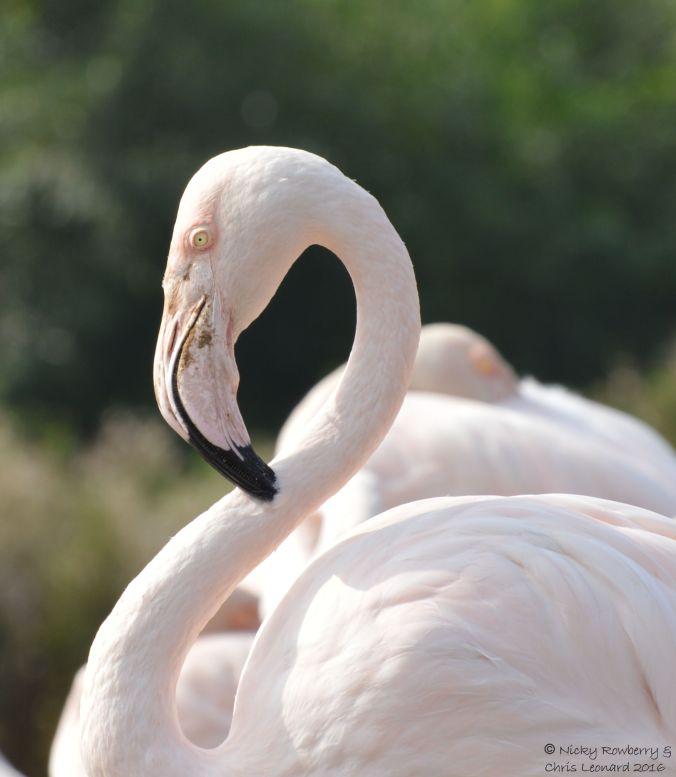 flamingo-head