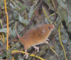 harvest-mouse