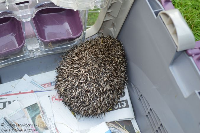 hedgehog-basket