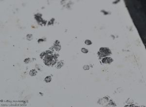 hedgehog-footprint