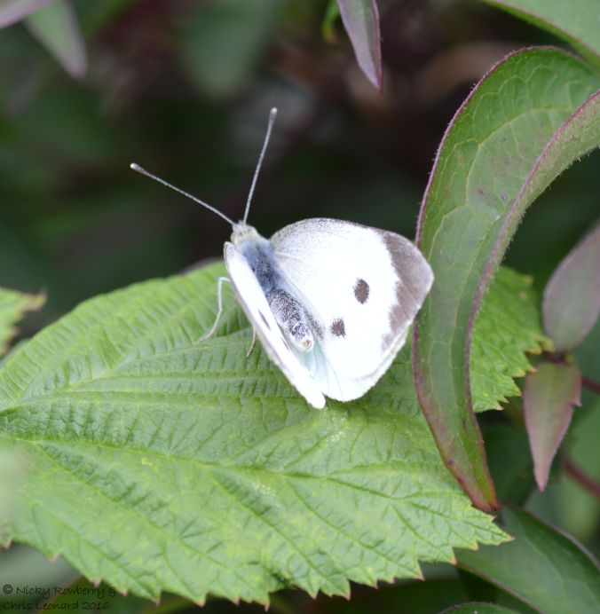 large-white-butterfly