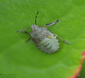shieldbug-nymph