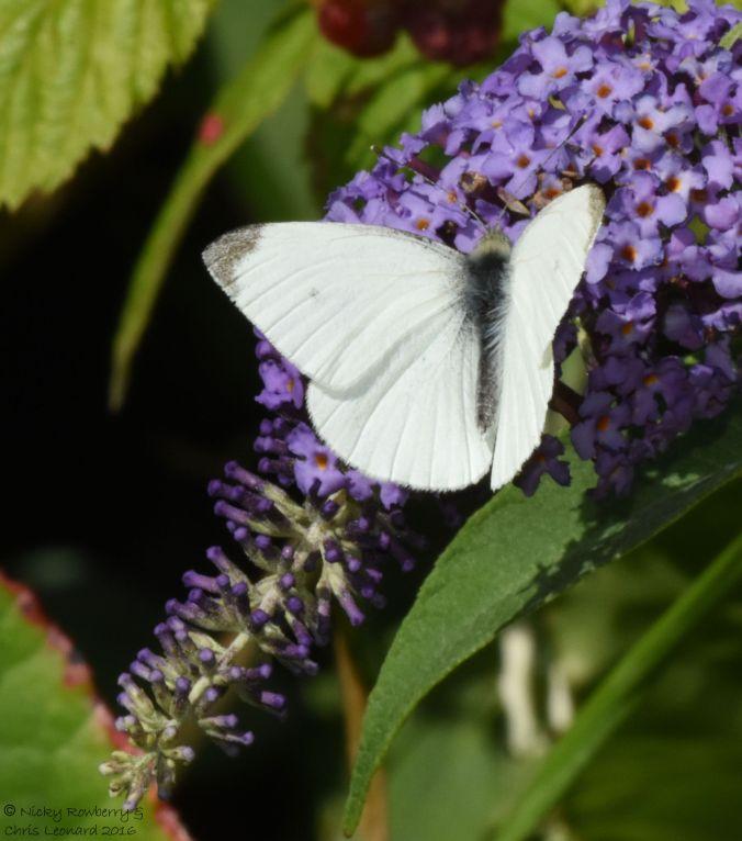 small-white