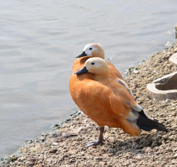 two-headed-duck