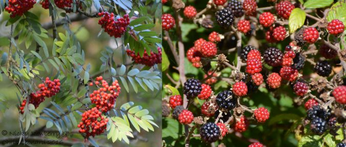 black-rowanberry