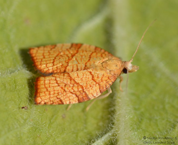 chequered-fruit-tree-tortrix