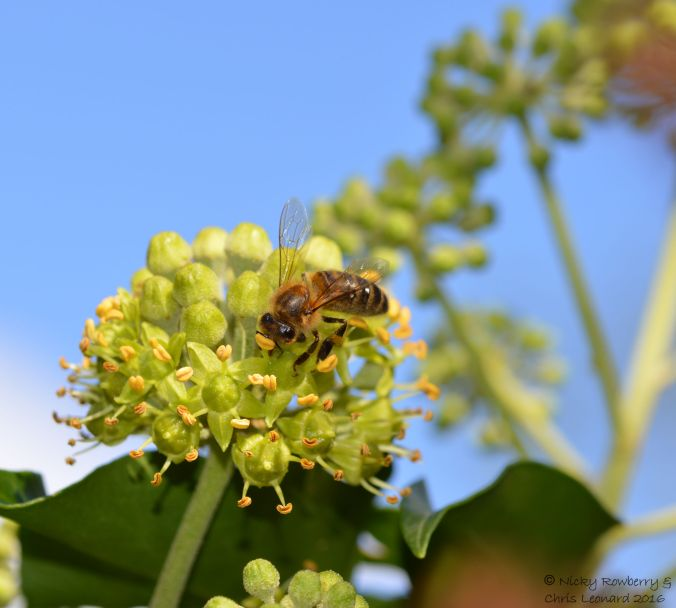 honey-bee-on-ivy-2