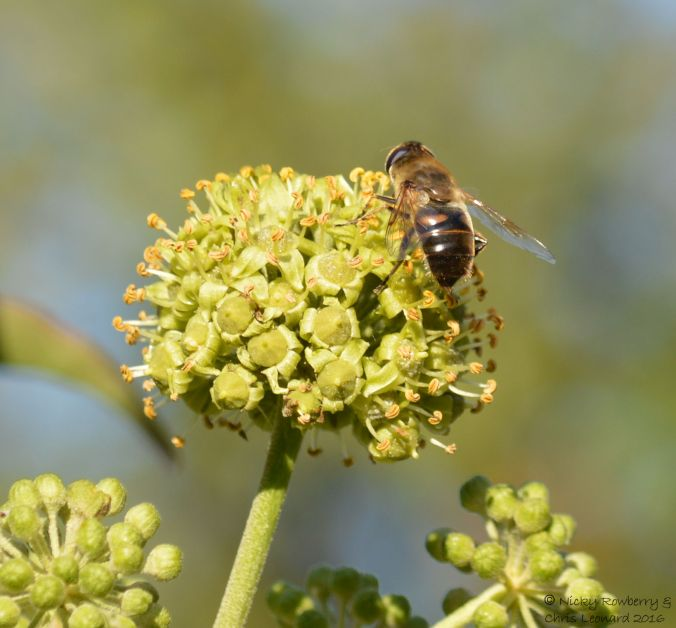 hoverfly-on-ivy-2