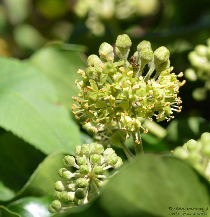 ivy-flower