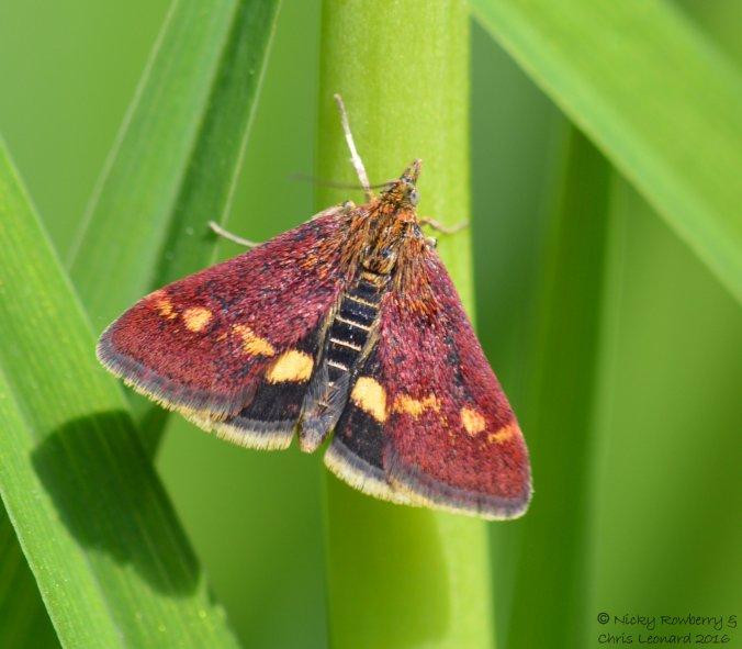mint-moth