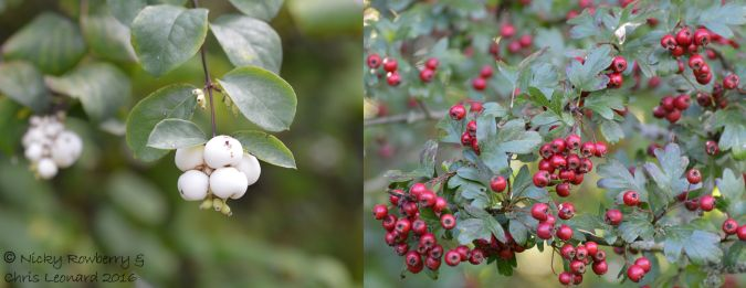 red-white-berries