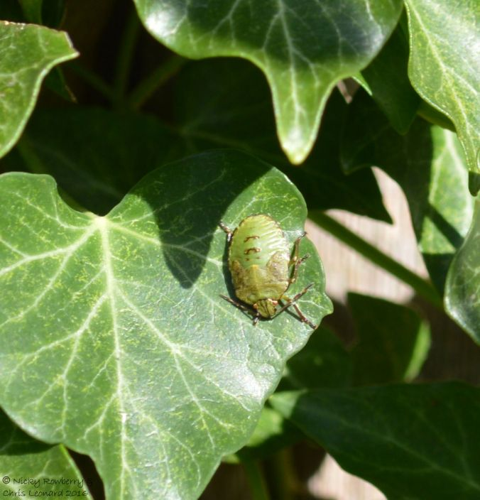 shieldbug-on-ivy