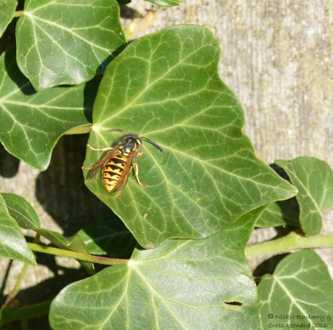 wasp-on-ivy
