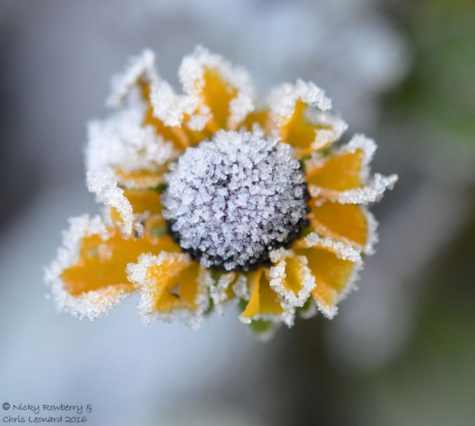 yellow-frosted-flower