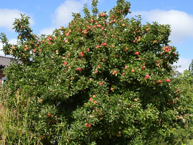 apple-tree-aug-07