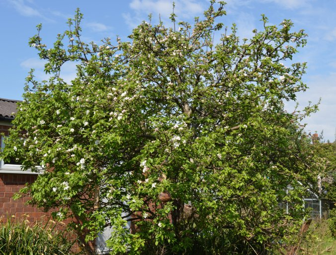 apple-tree-may-8