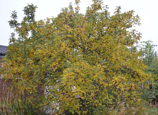 apple-tree-oct-29