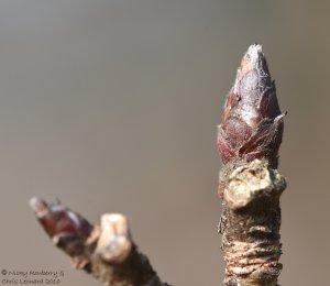 leaf-bud-1