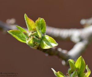 leaf-bud-2