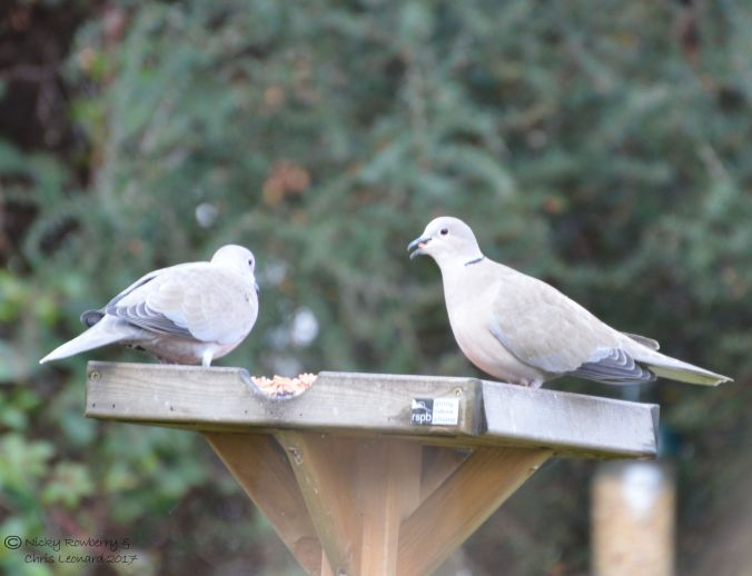collared-doves